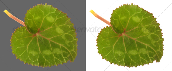 Cyclamen leaf - Nature & Animals Isolated Objects