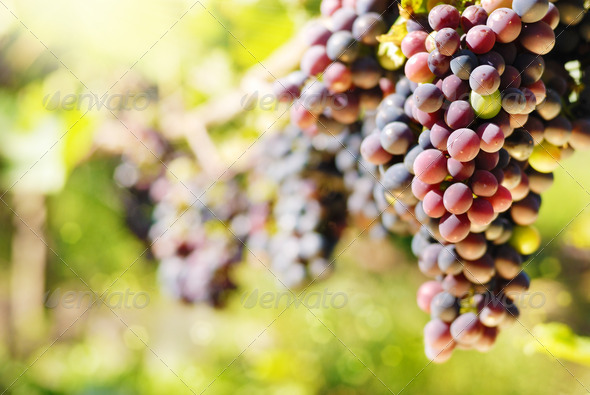 Red grapes - Stock Photo - Images