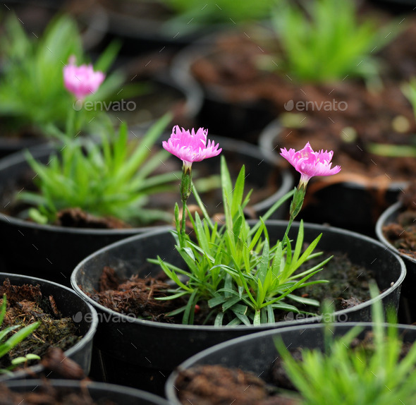 Potted Plant Blossoming with Pink Flowers - Stock Photo - Images