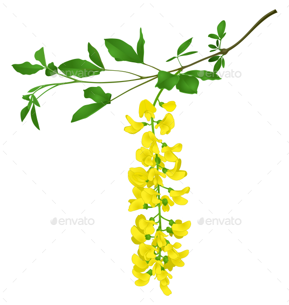Green Branch of Yellow Acacia - Flowers & Plants Nature