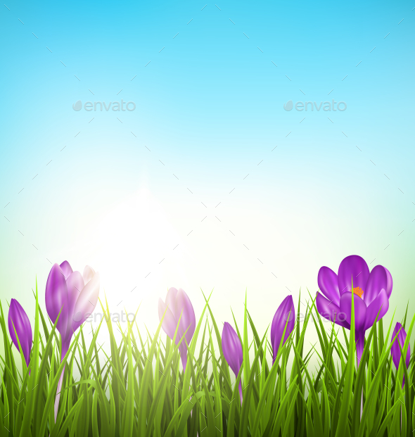 Green Grass Lawn with Violet Crocuses - Landscapes Nature