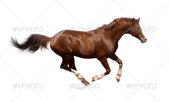 Brown Horse Running - Stock Photo - Images