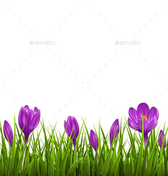 Green Grass Lawn with Violet Crocuses - Flowers & Plants Nature