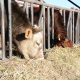 Dairy Cows Eating Hay and Corn - VideoHive Item for Sale