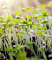 Thyme Seedlings - PhotoDune Item for Sale