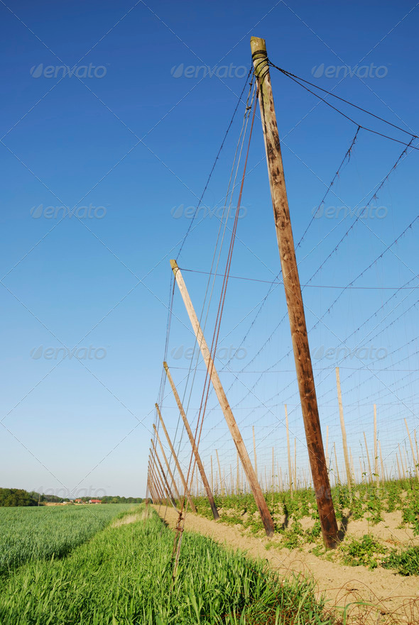 Hop field - Stock Photo - Images