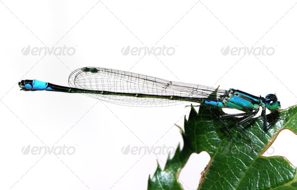 Blue damselfly - Stock Photo - Images