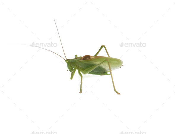 a locust isolated - Stock Photo - Images