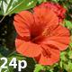 Hibiscus - VideoHive Item for Sale