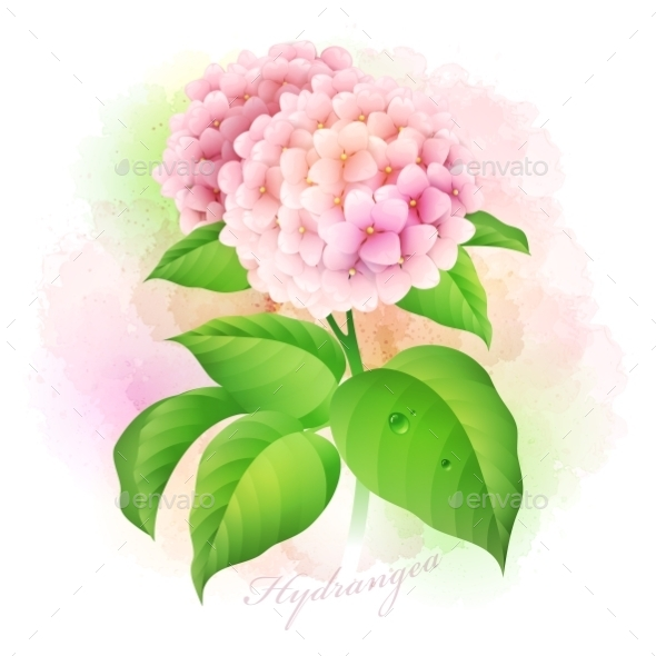Hydrangea Botanical - Flowers & Plants Nature
