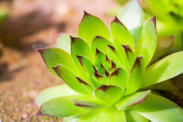 green sempervivum plant - Stock Photo - Images
