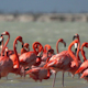 Pink Flamingo Wild Life Mexico Birds 15 - VideoHive Item for Sale