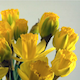 Opening of Yellow Daffodil Flowers - VideoHive Item for Sale