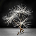 Dandelion seeds standing - PhotoDune Item for Sale