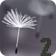 Fly Dandelions 2 - VideoHive Item for Sale
