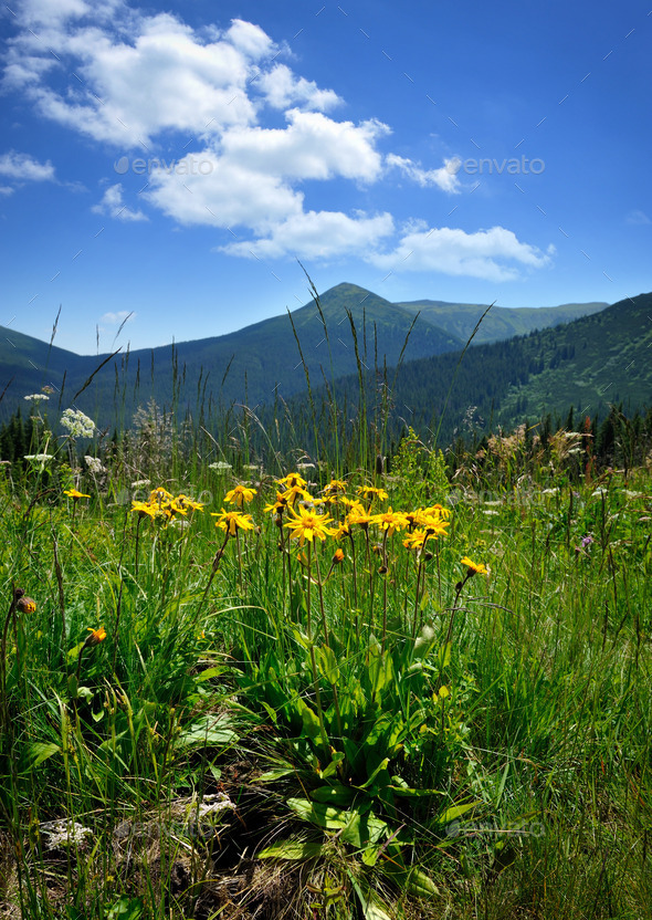 Arnica flowers (Arnica montana) on a background of mountains and - Stock Photo - Images