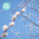 Platinum Catkins against a Blue Sky - VideoHive Item for Sale