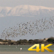 Murmurations Birds Ballet Dance Swarm Behaviour - VideoHive Item for Sale