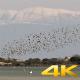 Murmurations Birds Ballet Dance Swarm Behaviour - VideoHive Item for Sale