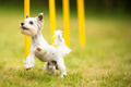 Cute little dog doing agility drill - running slalom - PhotoDune Item for Sale