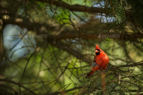Northern cardinal (Cardinalis cardinals) - Stock Photo - Images