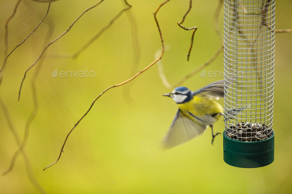 Tiny Blue tit flying away from a feeder in a garden - Stock Photo - Images