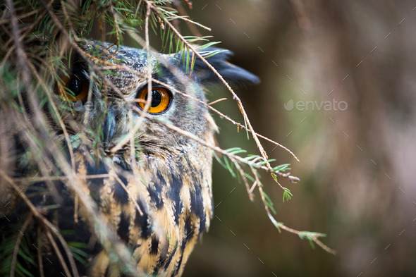 Eagle Owl, Bubo bubo - Stock Photo - Images