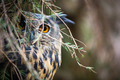 Eagle Owl, Bubo bubo - PhotoDune Item for Sale
