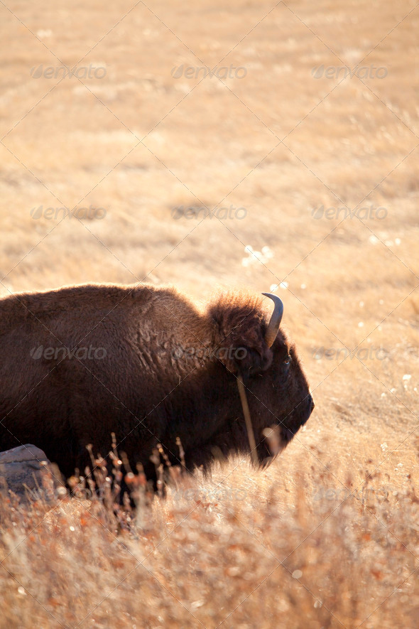 wild american bison - Stock Photo - Images