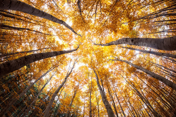 autumn forest treetops (intentionally distorted image; shot with - Stock Photo - Images