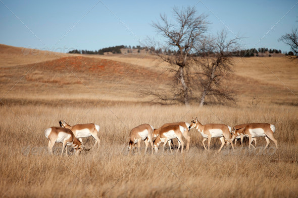 herd of pronghorn antelope - Stock Photo - Images