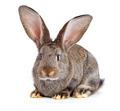 Brown rabbit on white background