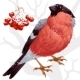 Vector bullfinch and ashberry ? 02 - GraphicRiver Item for Sale