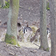 Herd of Fallow Deer Females and Fawns Feeding - VideoHive Item for Sale