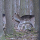 Herd of Fallow-Deer Females and Fawns - VideoHive Item for Sale