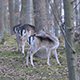 Herd of Fallow Deer Females and Fawns - VideoHive Item for Sale