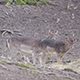 Fallow-deer Females and Fawns Go Away - VideoHive Item for Sale