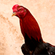 Rooster with Red Head - VideoHive Item for Sale