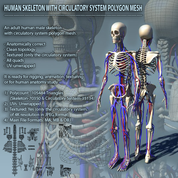 Human Skeleton with Circulatory System PolygonMesh - 3DOcean Item for Sale