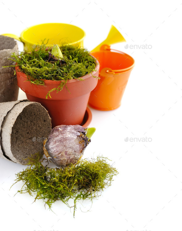 Preparation for planting hyacinths - Stock Photo - Images