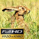 Field Hare. - VideoHive Item for Sale