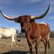 Texas Longhorn 3 - VideoHive Item for Sale