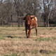 Young Texas Longhorn - VideoHive Item for Sale