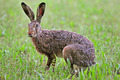 Brown hare - PhotoDune Item for Sale