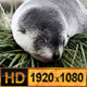 Flu Seal Pups - VideoHive Item for Sale