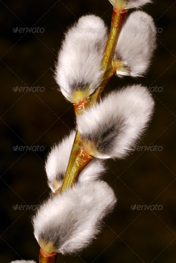 Pussy willow - Stock Photo - Images