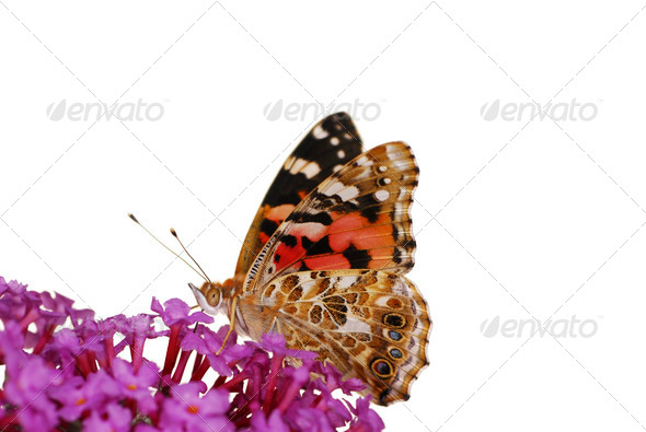 Painted Lady Butterfly - Stock Photo - Images