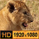 Wild Lion Cubs - VideoHive Item for Sale