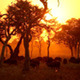 Buffalo Herd on African Sunset - VideoHive Item for Sale