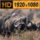 Lions Pride on Herd of Buffalo  - VideoHive Item for Sale